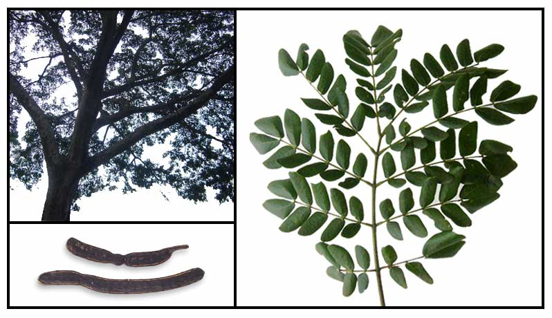 Acacia Samanea Saman Rain Tree Philippine Alternative Medicine