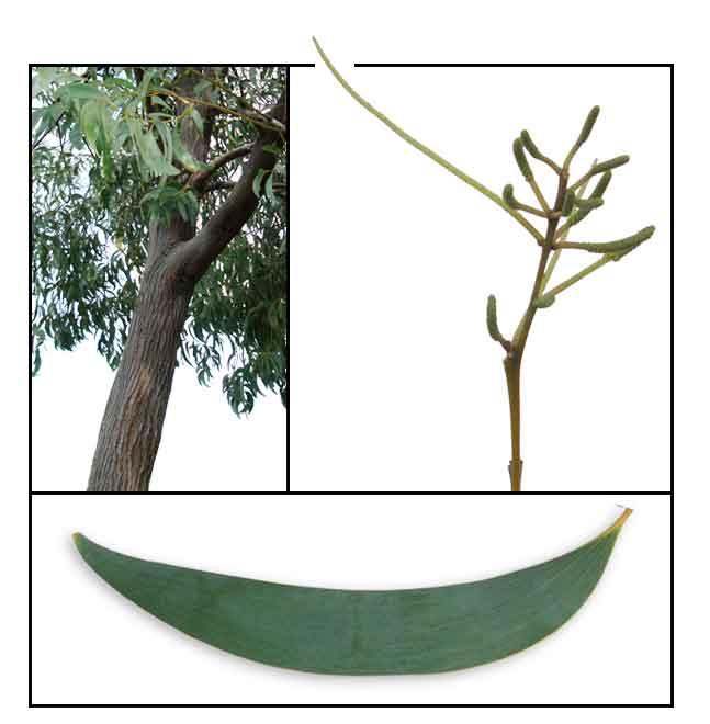 Acacia Red Wattle Acacia Crassicarpa Growfast Philippine