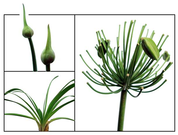 African Lily Agapanthus Afric