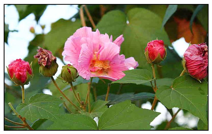 Amapola Hibiscus Mutabilis Confederate Rose Philippine