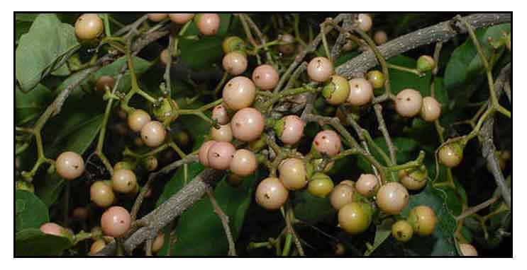 Anonang, cordia dichotoma, soap berry, Philippine Medicinal