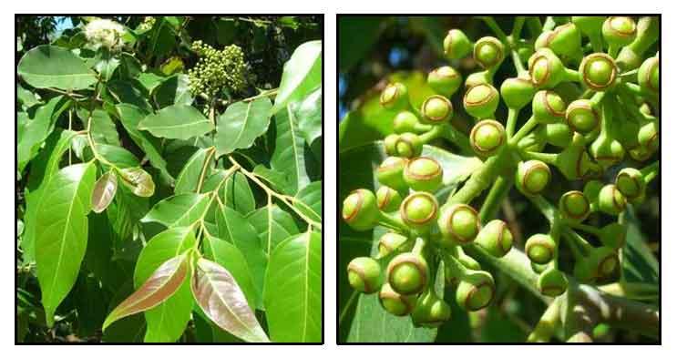 Bagras Eucalyptus Deglupta Rainbow Gum Philippine