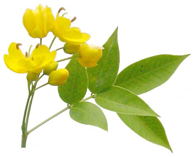 Balatong aso cassia occidentalis coffee senna philippine balatong aso cassia occidentalis coffee senna philippine medicinal herbs philippine alternative medicine ccuart Image collections