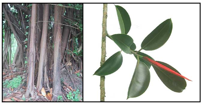 Balete Rubber Tree Ficus Stipulosa Philippine