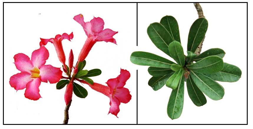 rose chen adenium garden