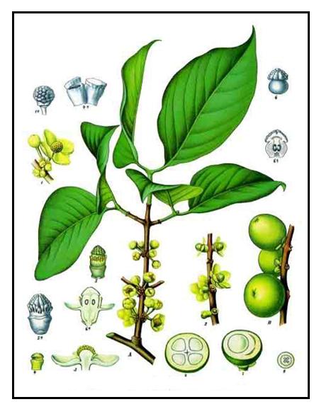 Garcinia cambogia fitosana funciona