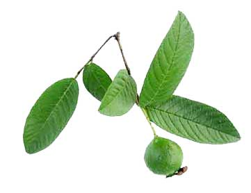 wound healing and guava leaves essay We will write a custom essay in deeper wounds as well as contraction of the wound in the wound healing analogy once the wound healing and guava leaves.