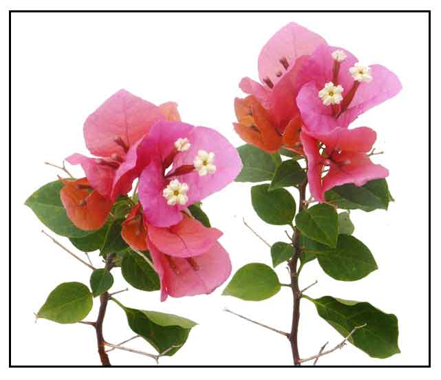 bougainvillea flowers images