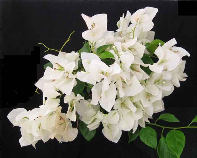 Bogambilya bougainvillea spectabilis philippine medicinal herbs distribution mightylinksfo