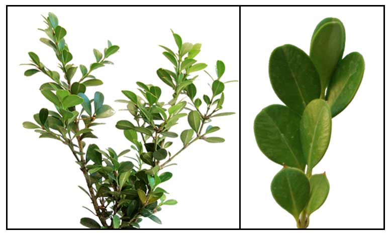 boxwood buxus sempervirens common box herbal medicine. Black Bedroom Furniture Sets. Home Design Ideas