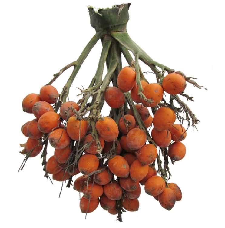 Bunga / Areca catechu / ARECA NUT / betel nut: Philippine