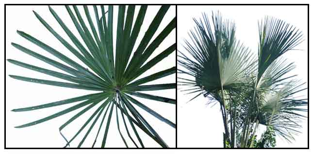 Buri Buri Palm Corypha Utan Philippine Medicinal Herbs