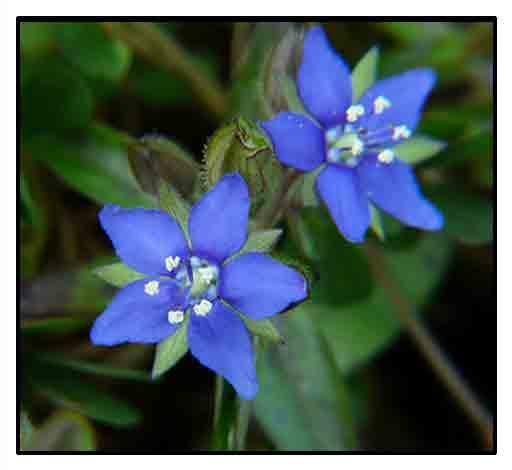 Ceylon hydrolea, Hydrolea zeylanica, BLUE WATER LEAF