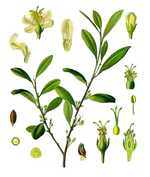 an introduction to cocaine a drug taken from the leaves of the coca plant The leaves of the coca plant have been used by the majority of the drug would be taken up through the and extracted the cocaine from the coca leaves.