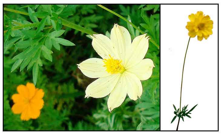 Cosmos Cosmos Sulphureus Philippine Medicinal Herbs Philippine