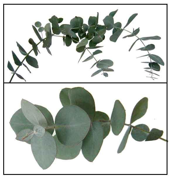 Spiral Eucalyptus Cinerea Silver Dollar Tree Philippine Medicinal Herbs Alternative Medicine