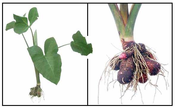 Gabi Plant