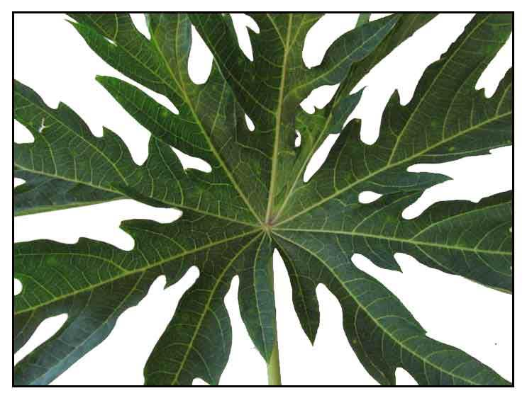 Papaya Leaf Extract for Dengue Fever / A case for alternative