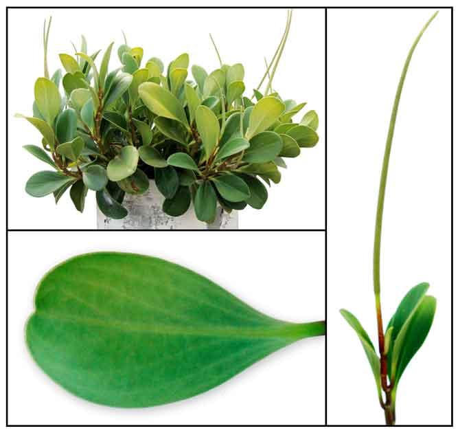 Green Peperomia Peperomia Obtusifolia Philippine