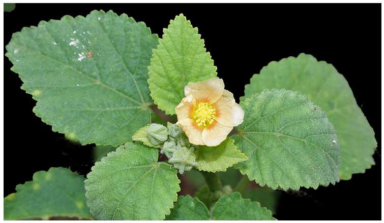 Gulipas, Sida cordifolia Linn , INDIAN EPHEDRA , Ke dong