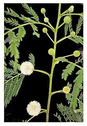 Ipil-ipil, Leucaena glauca, Santa Elena, Yin he huan: Herbal