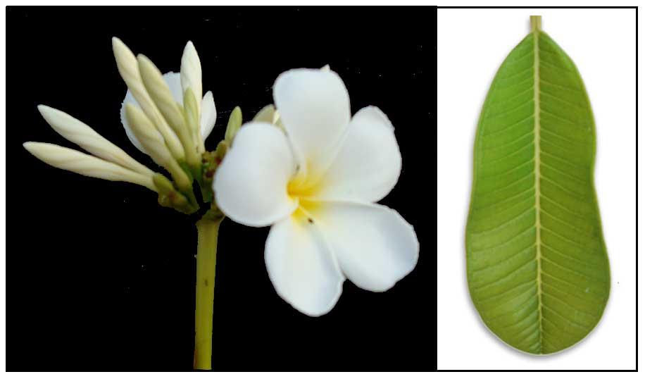 2969577d0 Kalachuchi / Plumiera rubra / Plumeria rubra / Temple flower / Frangipani :  Herbal Medicine / Alternative Medicine / StuartXchange