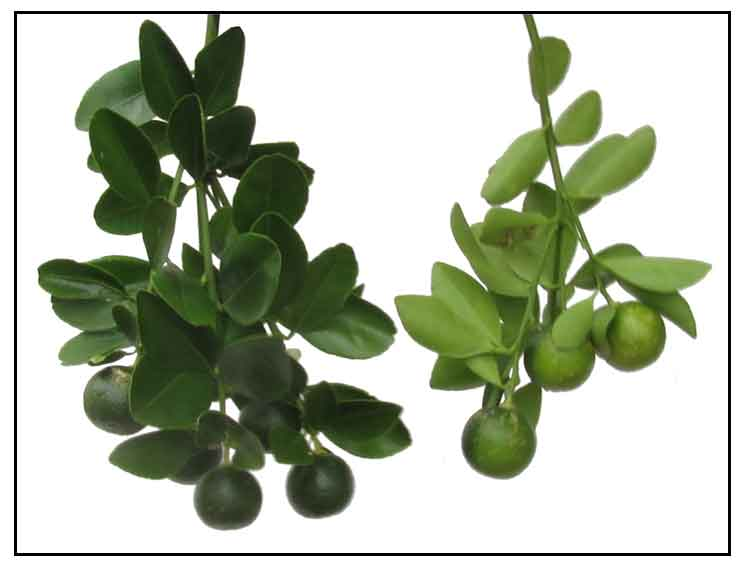 Efficacy of Botanical Fungicides against Curvularia lunata at