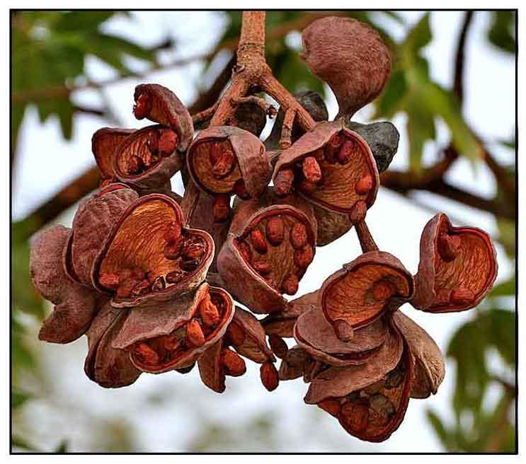 Kalumpang, Sterculia foetida, wild almond, Xiang ping po: Philippine
