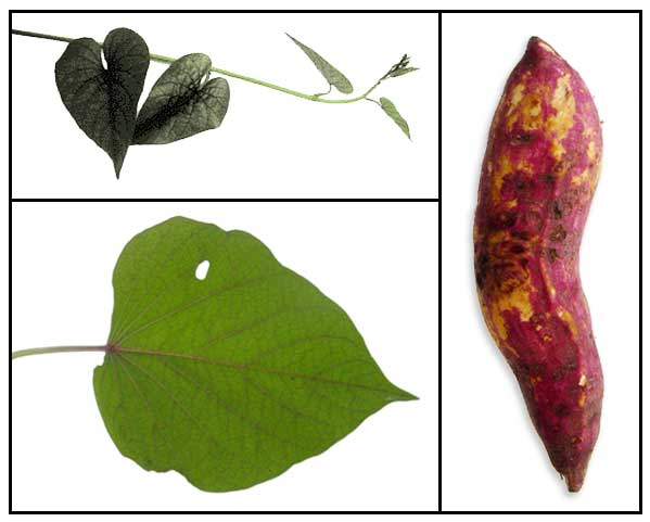 scientific name of camote leaves
