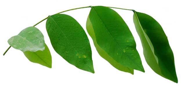 Kanya pistula / Cassia fistula / Golden Shower: Philippine