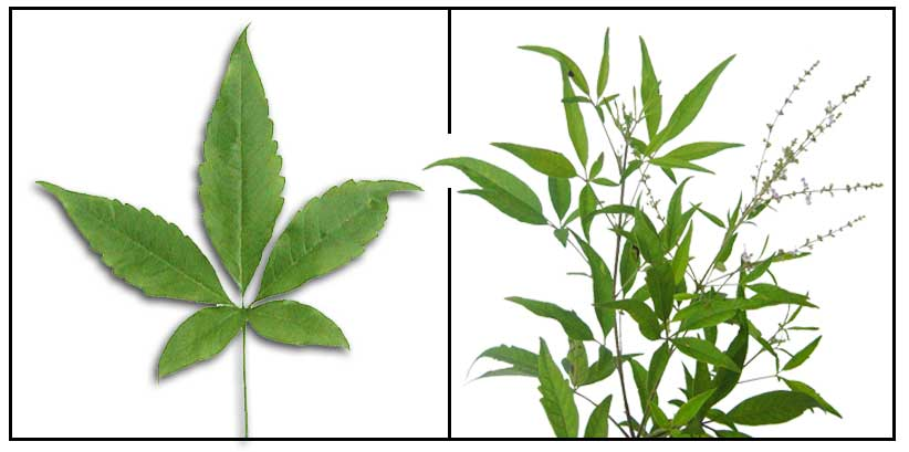 lagundi info Sambong or blumea balsamifera is a shrub that grows in tropical climates valued in herbal medicine for its health benefits against fever, arthritis, rheumatism and others.