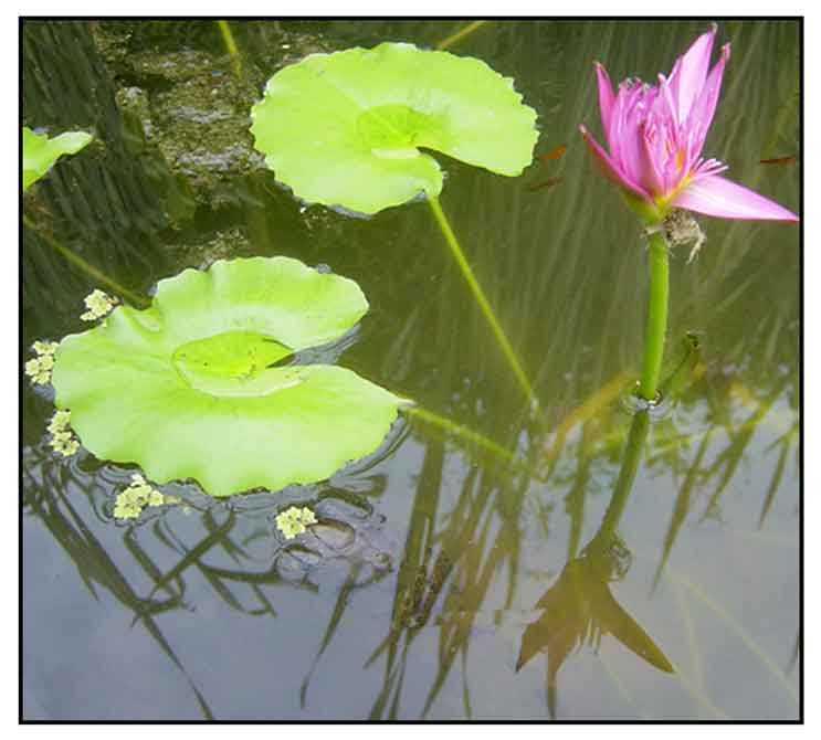Lauas Nymphaea Nouchali Burm Lotus Lily Water Lily Philippine