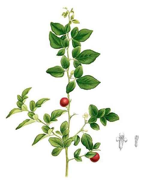 Limonsito / Triphasia trifolia P  Wils / Lime Berry