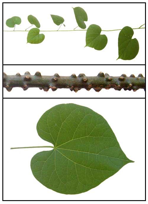 Makabuhay (Tinospora rumphii), Heavenly Elixir / Herbal Medicinal