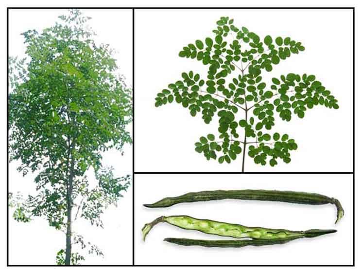 Malunggay / Ben Oil Tree / Moringa oleifera / La mu