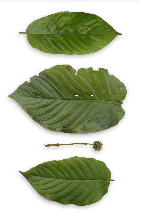 Mambog, Mitragyna speciosa, KRATOM: Philippine Medicinal