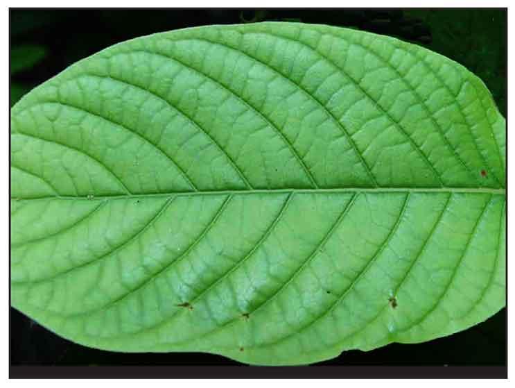 Mambog, Mitragyna speciosa, KRATOM: Philippine Medicinal Herbs
