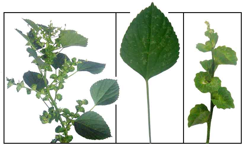 Maraotong Acalypha Indica Indian Acalypha Herbal Therapy