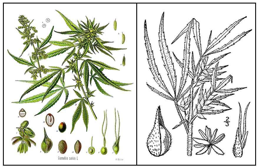 Marihuana, Cannabis sativa, MARIJUANA, Ye ma: Philippine Medicinal