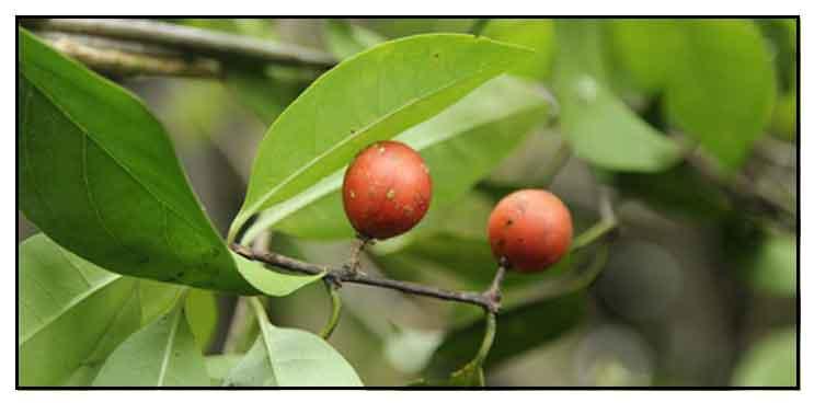 Matang Ulang Salacia Prinoides Willd Dc Chinese Salacia