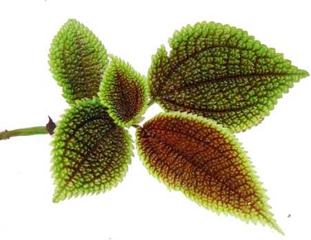 Mayana / Coleus scutellarioides / coleus blumei : Philippine
