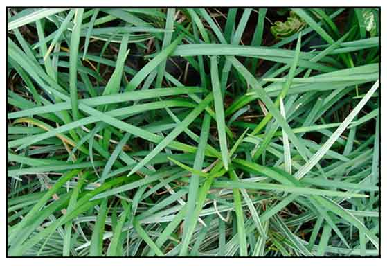 Home and garden the benefits of mondo grass for Hearty ornamental grasses