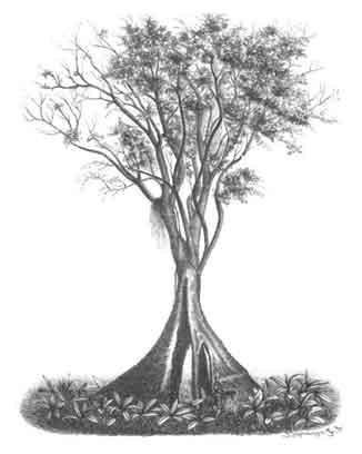 Narra / Pterocarpus indicus / National Tree / Rosewood / Tzu tan