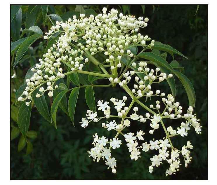 Nim / Azadirachta indica/ NEEM: Philippine Medicinal Herbs