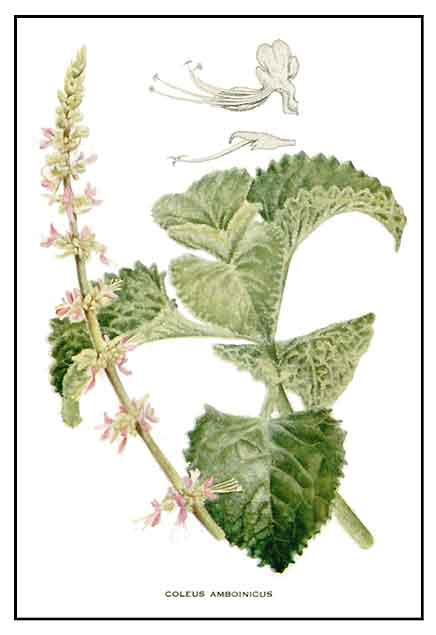 Oregano / Suganda / Coleus aromaticus: Philippine Medicinal