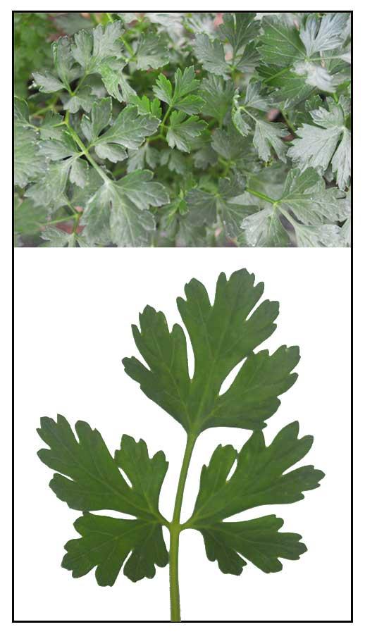 Aloe vera prostatitis főzés