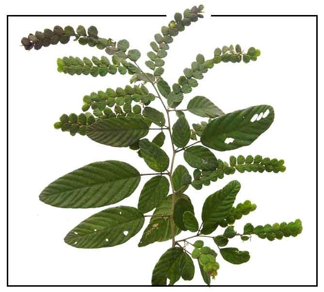 Payang-payang / Desmodium pulchellum: Medicinal Herbs