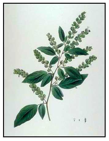 Payang-payang / Desmodium pulchellum: Medicinal Herbs / Philippine