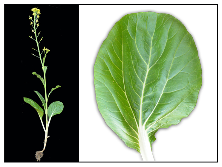 response of pechay brassica chinensis l Full-text paper (pdf): growth response of brassica rapa on the different wavelength of light  pechay exposed to blue colored fluorescent light, treatment 3,.