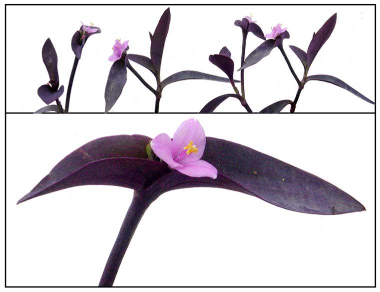 Purple , Tradescantia pallida, PURPLE QUEEN / Herbal ... on 5 leaf house plant, 3 leaf plant identification, 8 leaf house plant, 3 leaf outdoor plant,